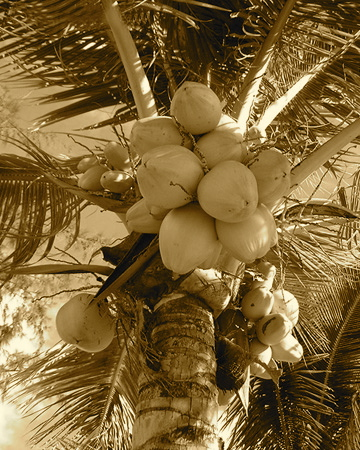 Coconut_tree5