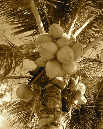 Coconut_tree5